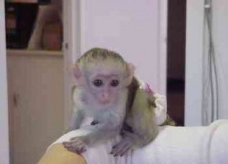 Affectionate Female Baby Capuchin Monkey For Adoption(Available
