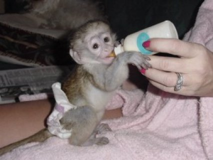 Home Trained Baby Capuchin Monkeys For Adoption  lovely baby mon