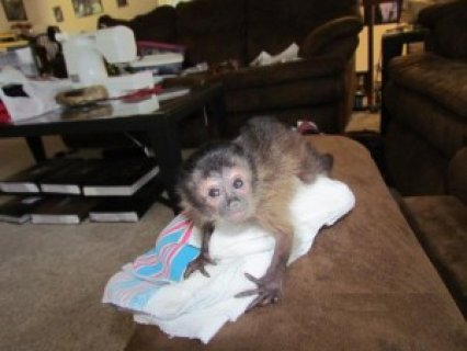 baby capuchin monkeys for adoption  we are giving out this lovel