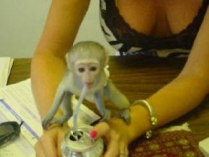 Gorgeous Cute Male And Famale Babies Capuchin Monkey Available**