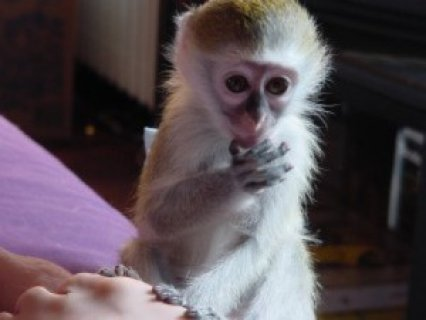 Magnificent Cute Male And Famale Babies Capuchin Monkey Availabl