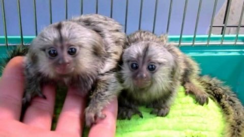 BEAUTIFUL MARMOSET MONKEYS FOR SALE