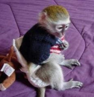 صور fantastic capuchin monkeys for adoption   fantastic capuchin mon 1