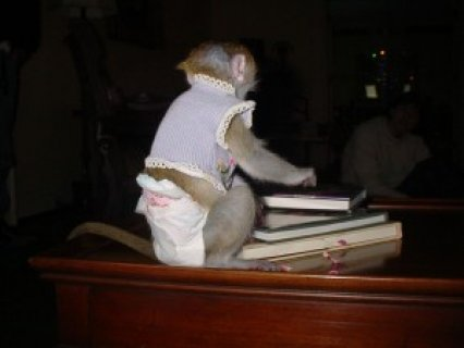 BABY CAPUCHIN MONKEY FOR ADOPTION  Please contact for more infor