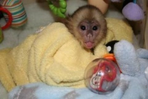 Playful Capuchin Monkey