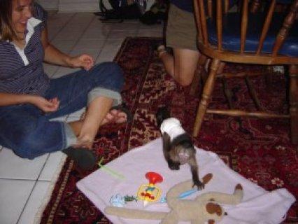 Capuchin Monkeys, Lemurs & Marmosets