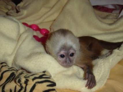 Beautifull Capuchin Monkeys