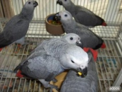 Awesome African Gray Congo + Cage