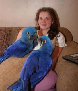 صور Two Female Hyacinth Macaws for Sale 1