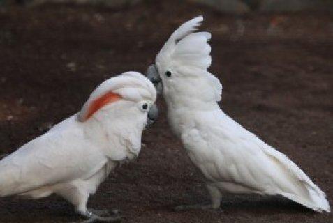 Beautiful Cockatoo Parrots