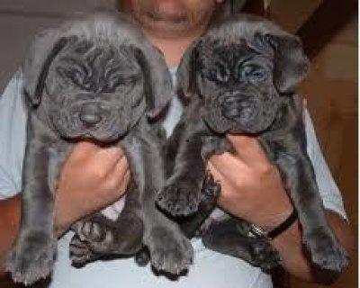 Sweet looking Neapolitan Mastiff puppies available.