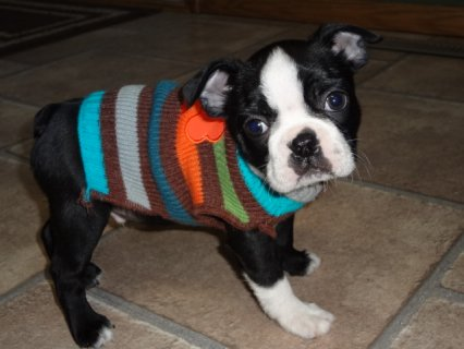 صور Boston Terrier puppies Avalaible	 1