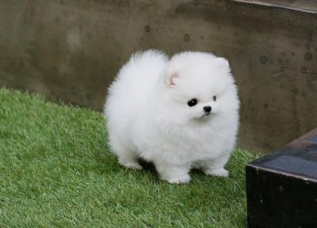 صور Beautiful and cute healthy pomeranian  PUPPIES baby pupies 2