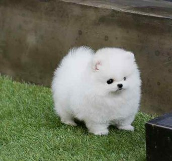 صور Beautiful Teacup Pomeranian puppies for sale 1