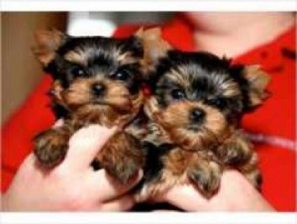 ////// Cute Yorkshire Terrier Puppies