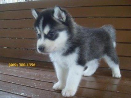 2 Lovely Blue Eyes Siberian Husky Puppies
