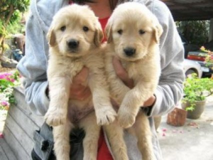صور Wonderful Labrador Retriever Pups for Sale 1