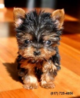Tiny Teacup Yorkie puppy!