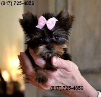 Tiny Yorkie Female, 10 Weeks Old