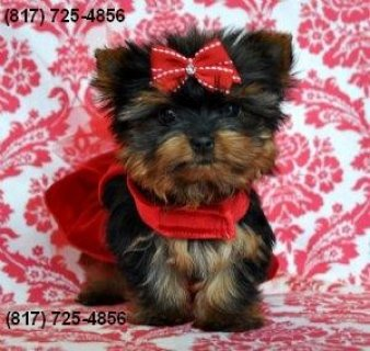 صور Cute Yorkie Pups! 1