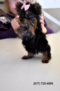 Tiny Toy Yorkshire Terrier Male Puppy