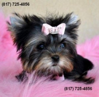 adorable AKC registered Yorkie pups