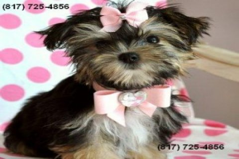 Teacup Yorkshire Terrier Puppy!