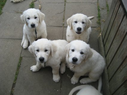 Nice golden retreiverPuppies for good and caring homes