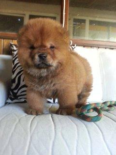 كلب تشاو تشاو للبيع