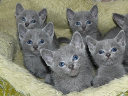 صور British short hair Kittens Available 1