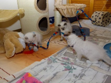 Ragdoll Kittens Ready for adoption
