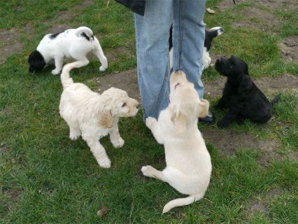 صور home trained Labrador  puppies ready for re-homing 1