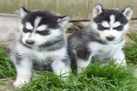 I have 2 Siberian Huskies for sale