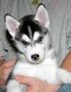 siberian husky  puppies for Good Family