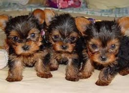 We have teacup Yorkie puppies for adoption