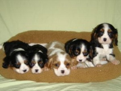 Cavalier King Charles Spaniels Puppies