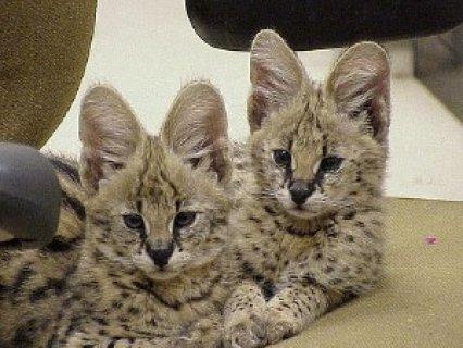 Serval Kittens for Adoption