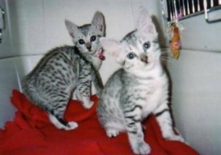 صور Lovely Egyptian Mau Kitten 1
