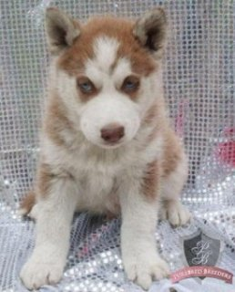 Blue eyes siberian husky puppies ready for new home
