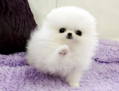male and female Pomeranian For you