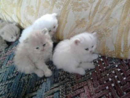 Toy Persian kittens ready for sale