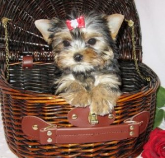 Male & Female T-Cup Yorkie Available For Adoption