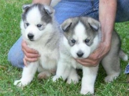 2 AKC registered Siberian Husky puppies