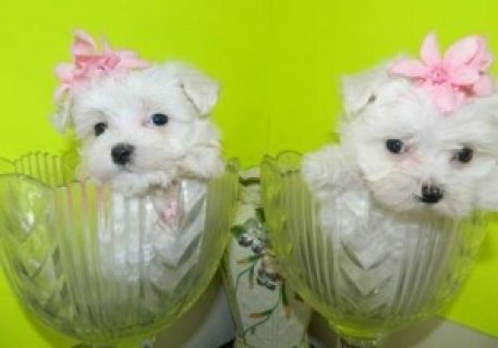 Catch Now Teacup Maltese Pups for Sale