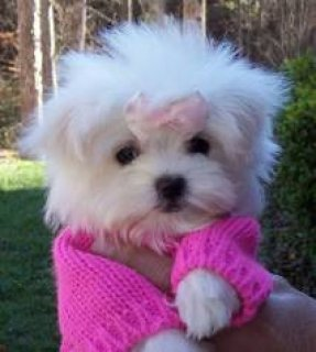 Acurate teacup Maltese puppies for you