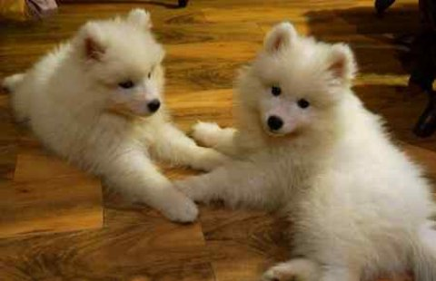 Male and Female Samoyed Puppies for a new home