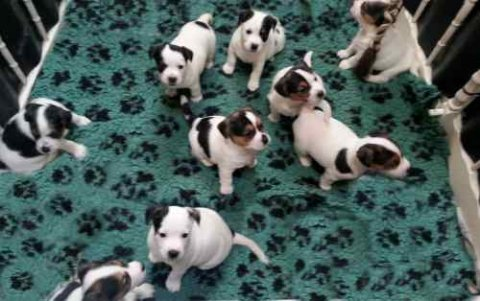 Miniature Jack Russell Puppies For Adoption