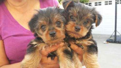 صور Charming Yorkie puppies Available 1