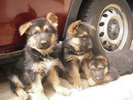 صور cute German shepherd puppies for adoption 1
