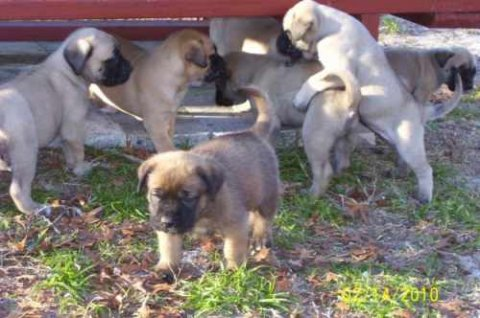صور BEAUTIFUL AND LOVELY MASTIFF PUPPIES FOR ADOPTION 1